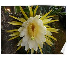 Night Blooming Cereus On Kaua'i Poster