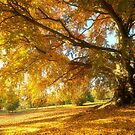 Copper Beech in Autumn by Alex Cassels