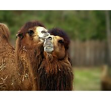 Camels Pride Photographic Print