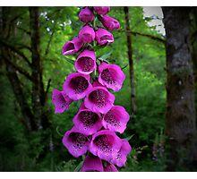 Wild Foxgloves Photographic Print