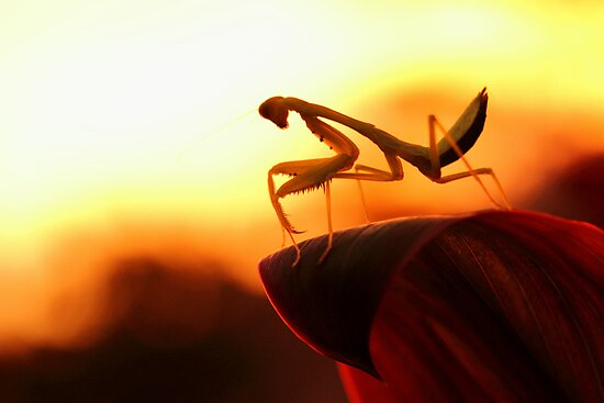 Mantis and sunset by jimmy hoffman