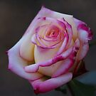 Roses Are Not Always Red... by pixhunter