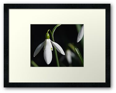Snow Drop #1 by Barry Doherty