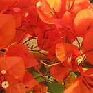 Orange Bougainvilleas Naranjas by PtoVallartaMex