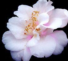 Camelia Blossom by alexofalabama