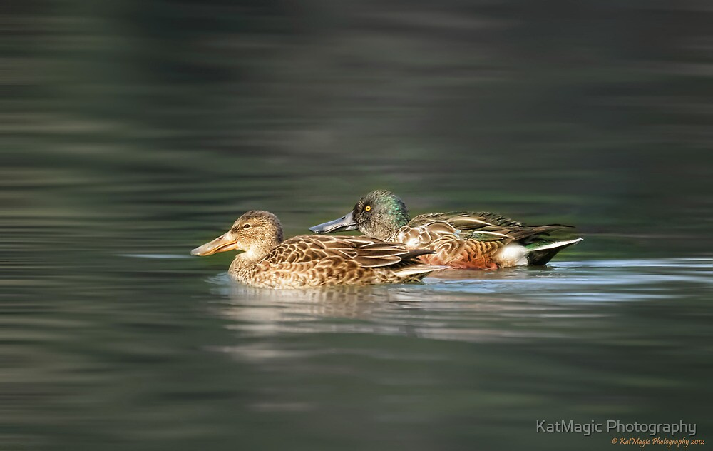 Northern Shoveler Couple by KatMagic Photography