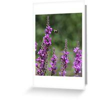 Bumble Bee on Purple Loosestrife Greeting Card