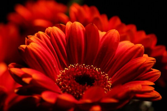 Red Gerberas by karina5