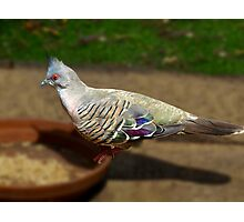 Crested Pigeon Photographic Print