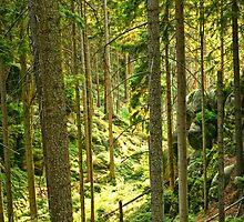 Sunlight Illuminates a Czech Forest by ieatstars