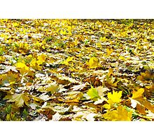 Selective focus on the yellow maple leaves on the lawn closeup Photographic Print