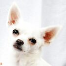 chihuahua angel by simonecoleman