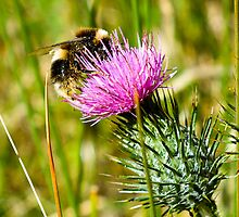 Bumble bee on thistle by Ron Co