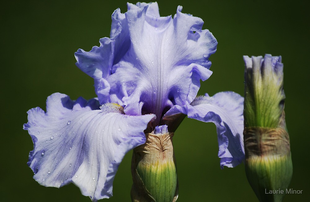 Iris & Buds by Laurie Minor