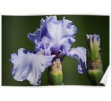Iris & Buds Poster