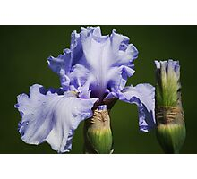 Iris & Buds Photographic Print