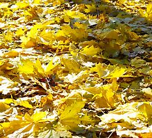 Selective focus on the yellow fallen autumn maple leaves closeup by vladromensky