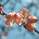 Cherry Blossoms by Louise Fahy