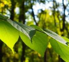Selective focus on the branch of a tree with large green leaves Sticker