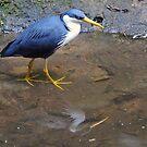 Pied Heron. Queensland, Australia. (2) by Ralph de Zilva