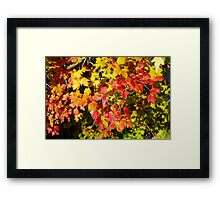Background of bright red and yellow maple leaves Framed Print