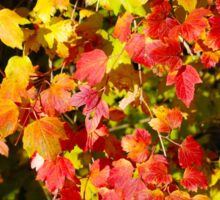 Background of bright red and yellow maple leaves Sticker