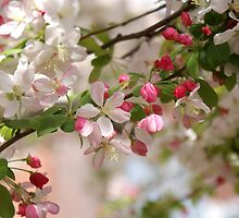 CHERRY BLOSSOMS! by Ruth Lambert