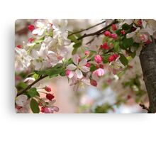 CHERRY BLOSSOMS! Canvas Print