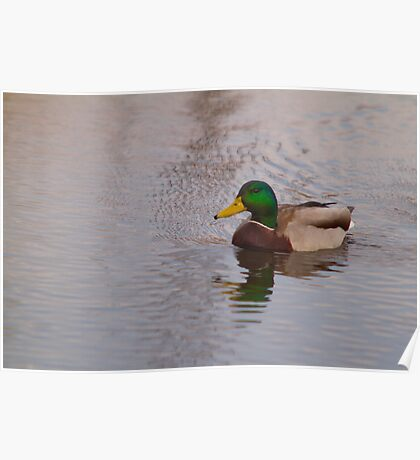 Same duck Poster