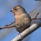 Little Finch by Kathy Baccari