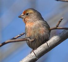 Little Finch by Kathy Baccari