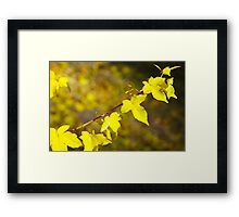 Little branch of maple with yellow leaves close up Framed Print