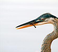 Blue Heron Portrait by Frank Bibbins