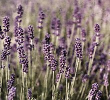 Lavender by Laura Melis