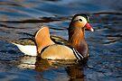 Mandarin Duck by Eivor Kuchta