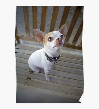 Roxie the Chihuahua Poster