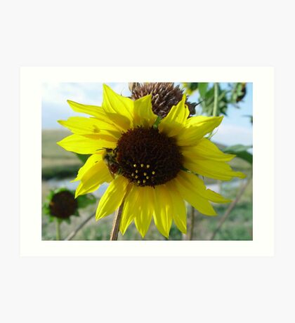 Sunflower and Red-butted Bee Art Print