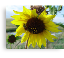 Sunflower and Red-butted Bee Canvas Print