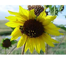 Sunflower and Red-butted Bee Photographic Print
