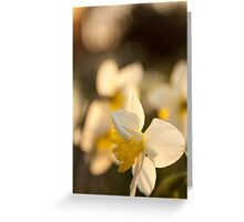 Sunset on Daffodils Greeting Card