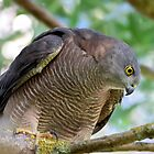 ~ Wild Brown Goshawk ~ by LeeoPhotography