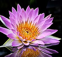 Pink Water Lily, Reflecting by cclaude