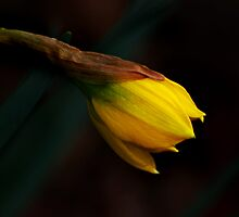 Early Daffodil by Kathleen Stephens