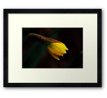 Early Daffodil Framed Print