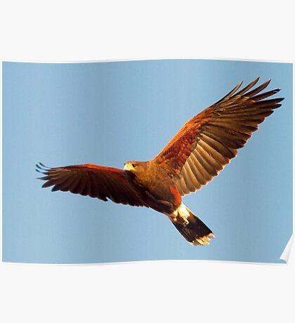 Harris' Hawk Poster