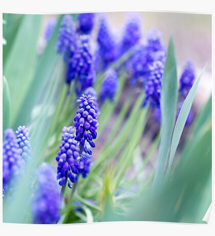 Grape Hyacinth Poster