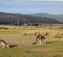 Kangaroos at Narawntapu by Mark Whittle