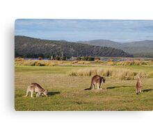 Kangaroos at Narawntapu Canvas Print