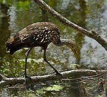 Limpkin Posing Creekside by Robert H Carney