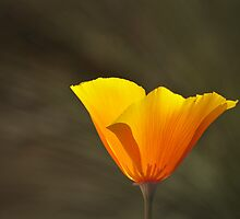Mexican Gold Poppy by Richard G Witham